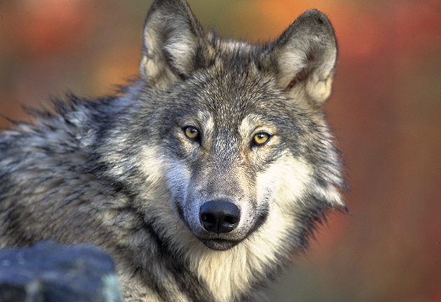 Picture of a wolf
